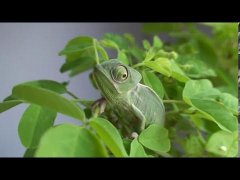 Camaleon velado bebe en colombia