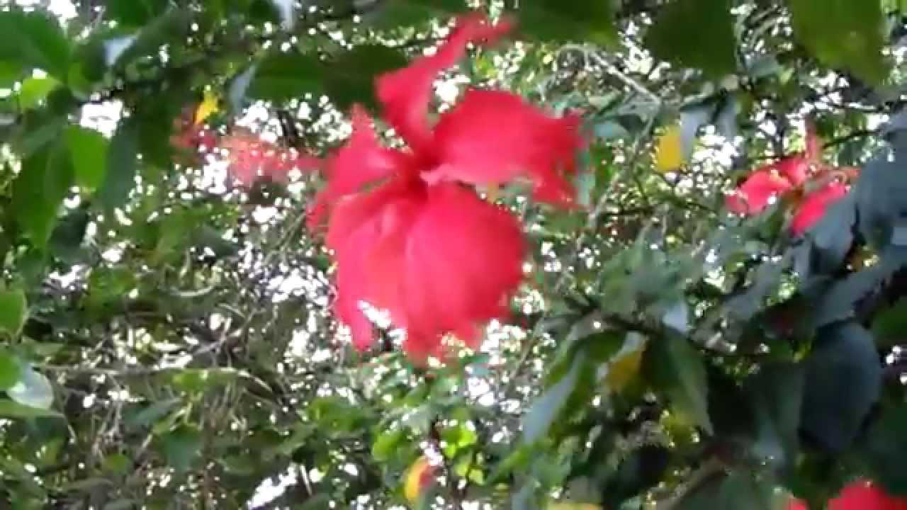 Rboles de flores hibisco o rosa de china youtube for Arboles para jardines pequenos