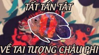 Vlog 011 - Tất tần tật về Tai Tượng Châu Phi - The most beautiful Oscar fish in the world