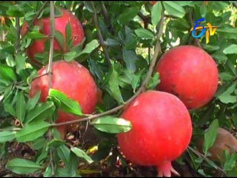 Successful pomegranate cultivation through integrated farming techniques in Andhra pradesh