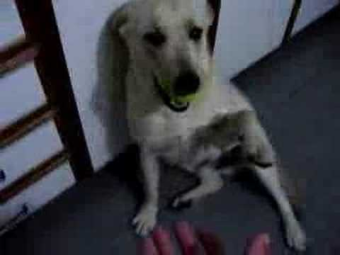 Yellow labradors - Semi Insano - Salazar - Labradores Video