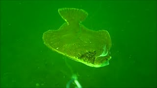 Incredible Underwater Flounder/Fluke Fishing Behavior!