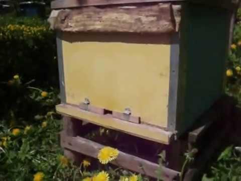 Пчеловодство. Роевой период. 8 признаков-примет(1).
