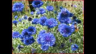 Watch Eric Bogle Cornflower Blue video