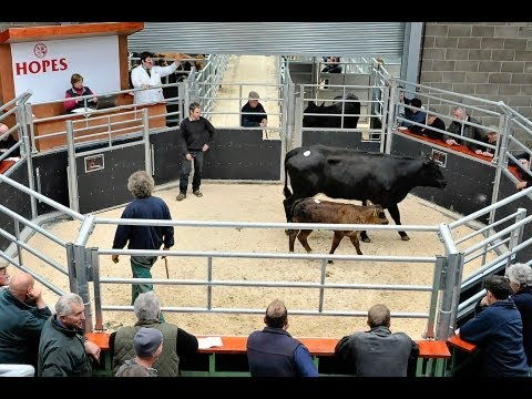 Hopes of Wigton Auction Mart Cattle Breeding Sale May 9th 2013