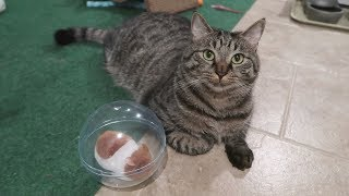 The Cats Have A Pet Hamster - Scooter Pet Ball Review
