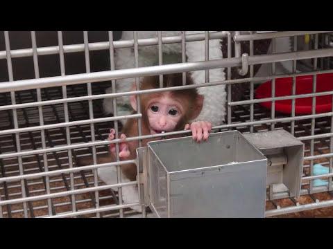 Miedo, miseria y tormento: Monos bebé utilizados en experimentos crueles del gobierno