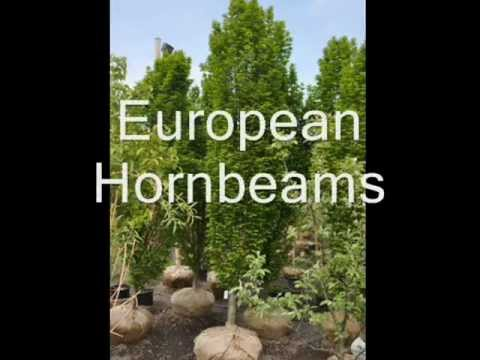 Xxx Trees For Your Landscape Grown Near Bucks County Pa     (craigslist Add) video