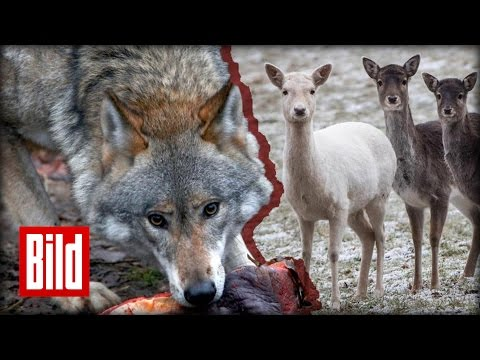 Wolf-Angriff: 23 Tiere sterben