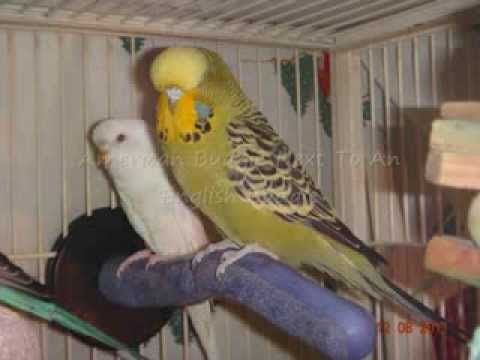 Budgie Parakeet Budgie/parakeet Types