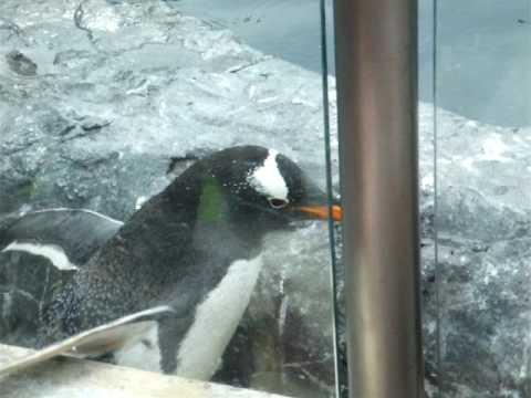 こけて何事もなかったようにふるまうジェンツーペンギン@旭山動物園