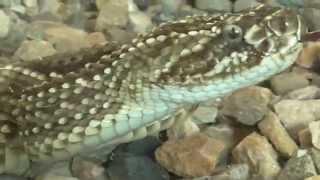 Serpientes venenosas: Serpiente Cascabel Tropical. Crotalus durissus cumanensis