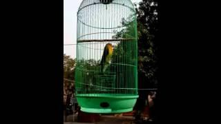 Download Lagu terapi suara burung lovebird ngekek Gratis STAFABAND