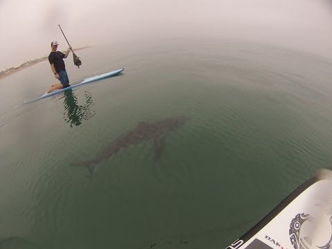 GREAT WHITE SHARKS SURFING