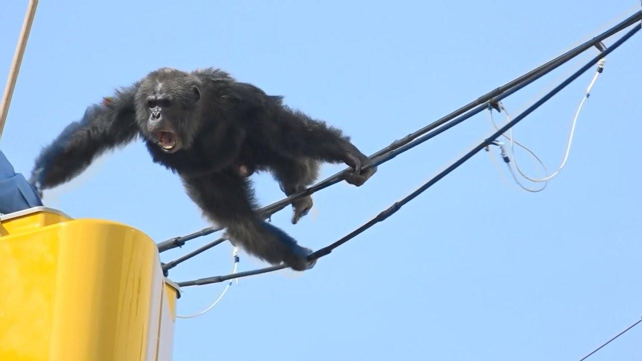 チンパンジーの画像 p1_28