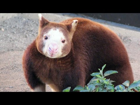 Buergers' Tree Kangaroo & Parma Wallaby Video