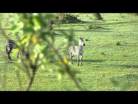 Zebra Chase