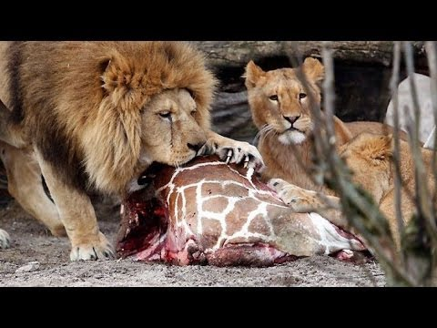 Zoo Kills 4 Lions, Just After Killing Giraffe | Kicking Back with Ana and Dave