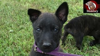 Answering Common Questions and Update on Malinois/Dutch Shepherd Puppy