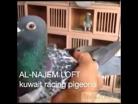 احمد الناجم / الكويت حمام زاجل al-najem racing pigeons kuwait