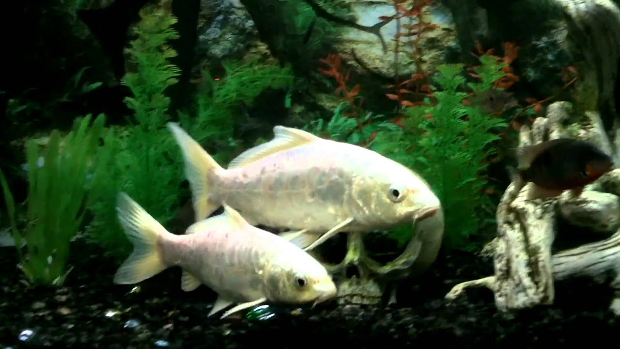 Rare koi youtube for Rare koi fish