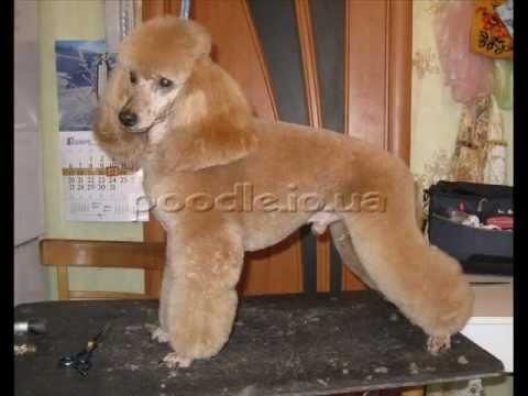 стрижка пуделя (poodle