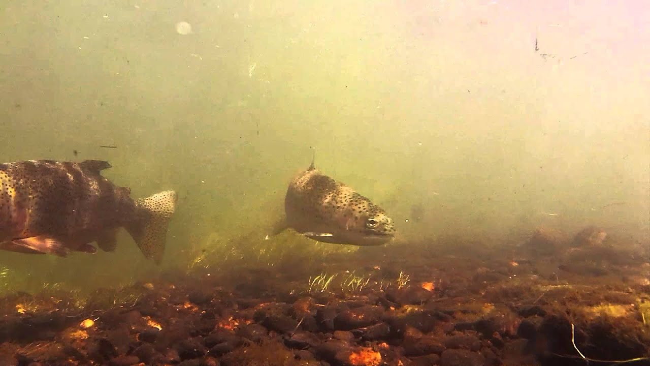 Gopro Flyfishing Video Of Trout Underwater In The South