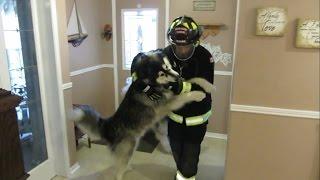 Giant Alaskan Malamute Dogs & Firefighter