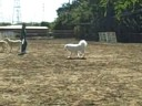 Hardy the Samoyed Puppy Herds More Sheep