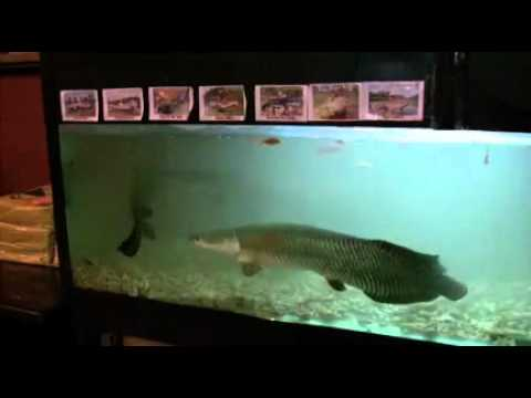 Amazone monster fish in big aquarium 2 youtube for Large aquarium fish