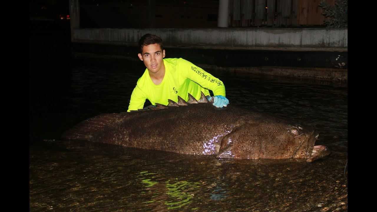 Monster Goliath Grouper Caught from Land