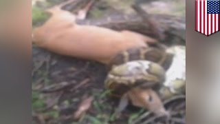 Python vs. Deer: Hunter shoots snake to free deer from death grip in the Everglades- TomoNews