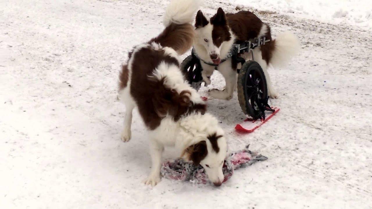 Imád síelni a kerekesszékes kutya - videó