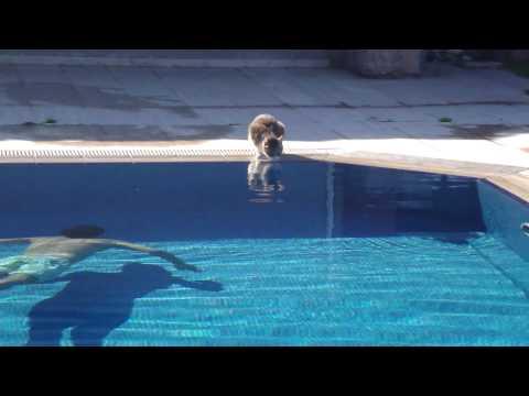 Gatos - Susto a un gato mientras bebe en piscina