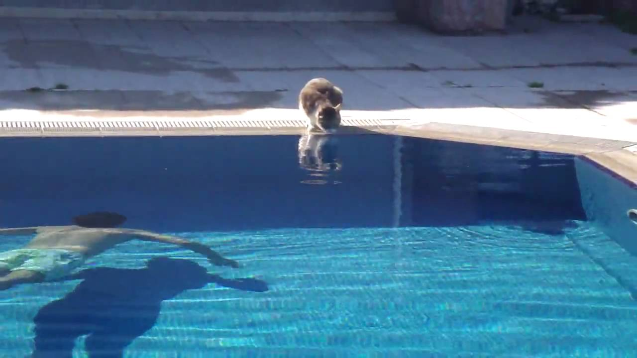 The cat at pool made the day epic funny youtube for Epic pool show