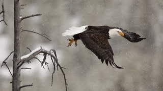 Bald Eagle  vs Coyote