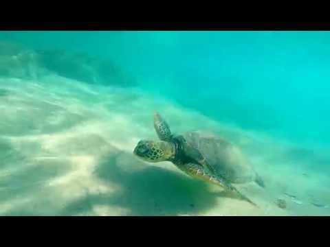 Swimming with giant sea turtles in Kauai