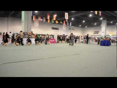 asia pacific section dog show Philippines  (shihtzu)