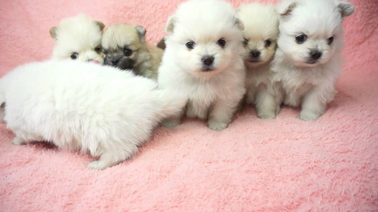 犬 ペキニーズ 画像