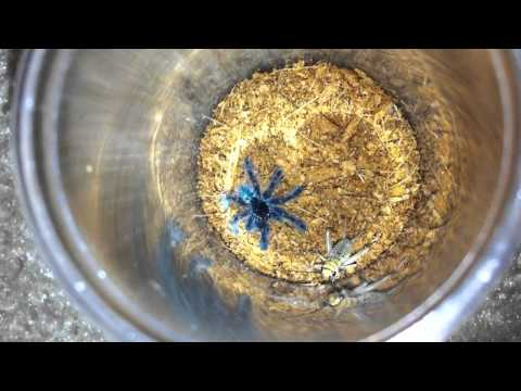 Feeding the Avicularia versicolor slings