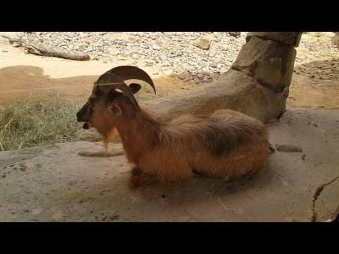 Arabian Tahr at Arabia's Wildlife Centre in Sharjah الطهر العربي في الشارقة