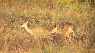 Texas Buck breeding doe in the wild