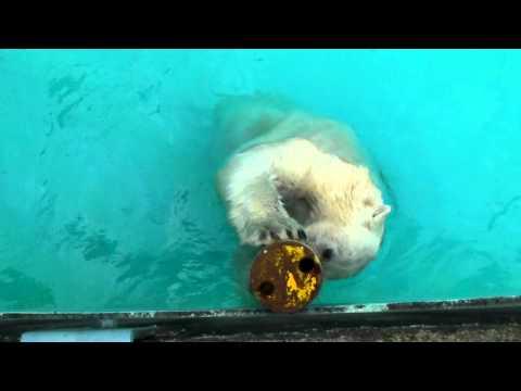 浜松市動物園 おやつ入りガス管とホッキョクグマのキロル PolarBear