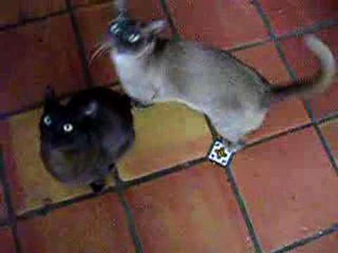 Noisy Burmese Cats. Noisy Burmese Cats. nothin exciting, i just love the ...