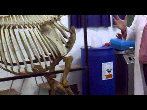 Anatomía veterinaria: Vértebras, costillas, articulaciones y ligamentos del equino.