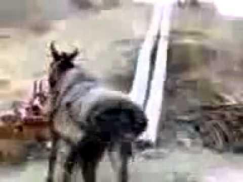 Emsal ba ahang kurdi miraghsad binamoos madar sag!!!