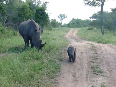 kruger rhino baby defends mother
