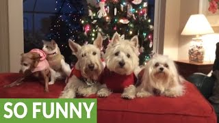 Four dogs and a cat pose for Christmas picture