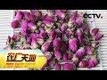 Lagu 《农广天地》苦水玫瑰七山羊 20180822  CCTV农业