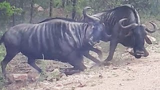 WILDEBEEST HAVE A TERRITORIAL FIGHT